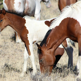 Pintos Rule!! by Kathy Tellechea - Animals Horses ( mare, mountain, nature, outdoors, horse, pinto, paints, steens, foal )