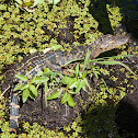 American Alligator (Young)