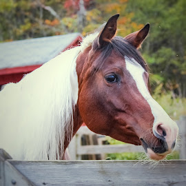 Curious by Sue Delia - Animals Horses ( arab, half arabian, horse, pinto, paint,  )