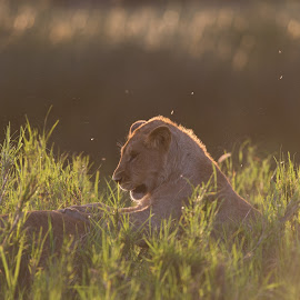 Playing lion cubs by Trond Braadland - Animals Lions, Tigers & Big Cats ( lion, panthera leo, safari, tanzania, lion cub )