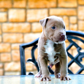 Pit Bull puppy by Sandy Terry-Jones - Animals - Dogs Puppies