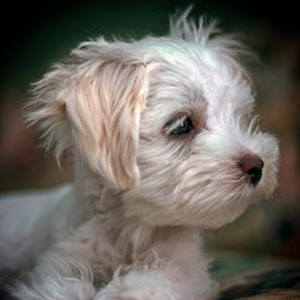 Rascal by Jackie Stoner - Animals - Dogs Puppies ( sweet disposition, puppy, white and brown, cute, small puppy )