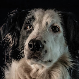 Quick by Marjan Smit - Animals - Dogs Portraits ( hond, serieus, wit, white, splitface, bordercollie, dog, serious )