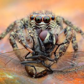 Jumping Spider with prey by Chee Yeow Lim - Animals Insects & Spiders