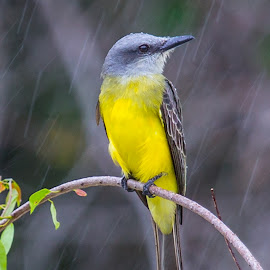 Singing in the rain by Mike O'Connor - Animals Birds ( bird, perched, guyana, wet, rain,  )