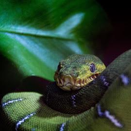 emerald tree boa by Pietro Ebner - Animals Reptiles ( snake, boa, emerald, green,  )
