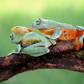 Go on vacation  by Kurito Afsheen - Animals Amphibians ( canon, animals, macro, macro photography, frog, indonesia, amphibians )