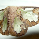 Lymantriid Moth or Tussock Moth