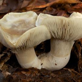 mushrooms in december by Chris Taylor - Nature Up Close Mushrooms & Fungi ( 365, macro, fungi, nature, autumn, forest, close up, mushrooms )