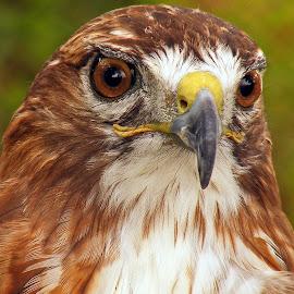 Hawk by Larry Strong - Animals Birds ( bird, raptor, hawk )