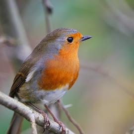 look right by Stuart Watson - Animals Birds ( bird, robin, england, garden )
