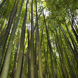 Bamboo by Dee Schindler VanBilliard - Nature Up Close Trees & Bushes ( bamboo, green, trees, hawaii,  )