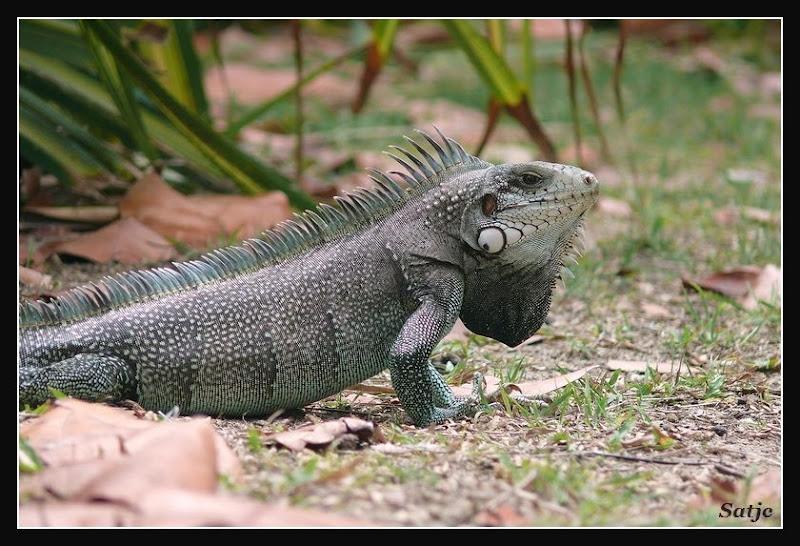 Iguane Sauvage de Guadeloupe ;o) Guadeloupe%202008%20-%20257