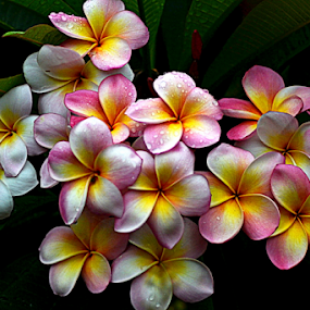 Pink Frangipani 42 by Mark Zouroudis - Flowers Flowers in the Wild (  )