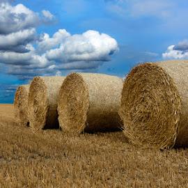 Alpacas redondas 9 by Eduardo Menendez Mejia - Landscapes Prairies, Meadows & Fields ( redondas, uk, tokina 12-24, cambridgeshire, alpacas, menendez, eduardo, cambridge, d5100, inglaterra )