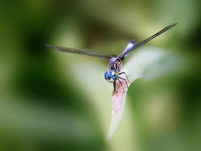 Dragonfly HD Wallpaper - screenshot
