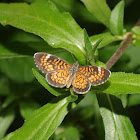 Tiny checkerspot (male)