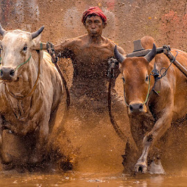 Pacu Jawi by Mediia Hendriko - News & Events Sports ( news, events, sports, photography, culture )