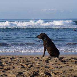 Gazing Beach Dog by Lori Fix - Landscapes Beaches
