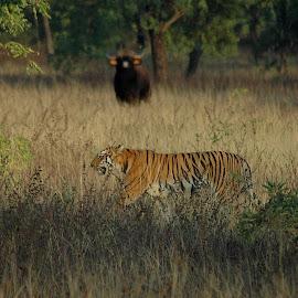 Shikari Khud Yaha Shikar Hone Wala Tha... A Herd Of Indian Gaur Chasing The Great Trishul Wali Female... JamunBodi by Deep Kathikar - Animals Lions, Tigers & Big Cats ( tiger, nature, india, forest )