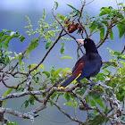 Japu (Crested Oropendola)