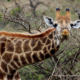 giraffe by Charmaine Hayley Jooste - Animals Other