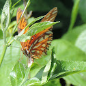 Gulf Fritillary Butterfly (female)