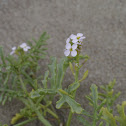 Sea Rocket, Meersenf
