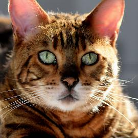 Zen by Lin Fauke - Animals - Cats Portraits ( kitten, cat, whiskers, exotic, bengal, leopard, eyes, asian )