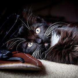 Black Beauty by Shaun Norton - Animals - Cats Kittens ( cat, kitten, long hair, pet, beautiful, yellow eyes, kitty, black,  )