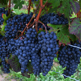 Vineyard by Joel Naphin - Nature Up Close Gardens & Produce ( vineyard, grapes,  )