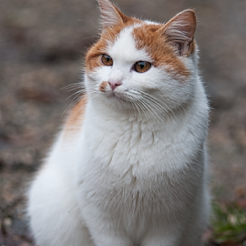 meowww by Luca Paramidani - Animals - Cats Kittens ( kitten, cat, sitting cat, red&white, italy )