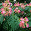 Silk tree or Mimosa