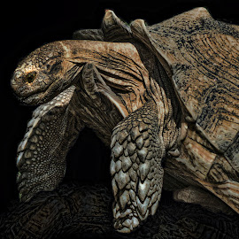 by Sheen Deis - Animals Amphibians ( nature, turtles, amphibians, close up of turtle,  )