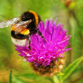 Fluffy bee by Shona McQuilken - Digital Art Animals ( thistle, purple, bee, green, bumblebee, insect,  )