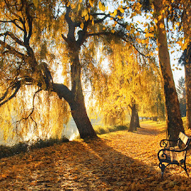 Morning Gold pt.II. by Zsolt Zsigmond - City,  Street & Park  City Parks ( backlight, autumn, fall, trees, scenery, sunrise, yellow, morning, leaves, light,  )