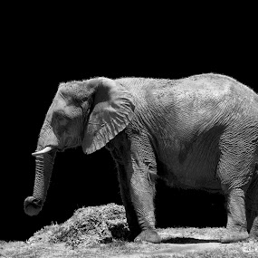 Elephant shape by Pablo Barilari - Animals Other Mammals ( nature, elephant, africa, mammal,  )