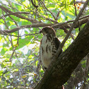 Broad-winged Hawk (juvenile)