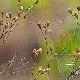 by Laura Payne - Nature Up Close Webs ( plant, old, stick, dew, link, sparkle, circle, glow, glaze, close, break, nature, splay, glisten, spin, spider, animal, silk, lace, grass, silver, web, cling, morning, knot, many, broken, spun, two, new, delicate, strong, cut, tight )