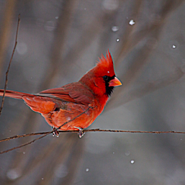 Perched by Susan Farris - Animals Birds ( red, cardinal, winter, cold, snow, male, branch, weather )
