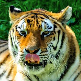 Tiger licking by Alfonso de las Cuevas - Animals Lions, Tigers & Big Cats ( tigre, tiger, stripes )