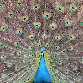 Peacock by Dallas Kempfle - Animals Birds ( bird, stewart, blue, feathers, peacock, eyes )