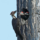 Pileated Woodpecker (male feeding young)