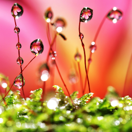 by Fentee  Affandy - Nature Up Close Natural Waterdrops ( macrophotography, waterdrops )