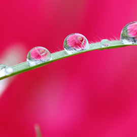 rain drop refraction by Erika Ramsay - Novices Only Flowers & Plants ( water, macro, grass, green, pink, flower, rain, water drop )