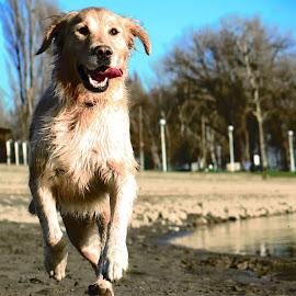 by Jelena Jela Kasabašić - Animals - Dogs Playing