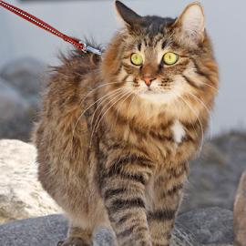 On a leash by Mia Ikonen - Animals - Cats Portraits ( leash, kurilian bobtail, walking, finland, rocks )