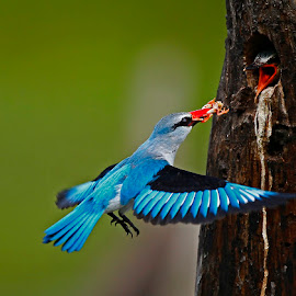 Woodland Kingfisher by Chris Krog - Animals Birds ( frog, kingfisher, woodland )