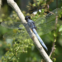 Common Blue Skimmer
