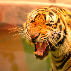 Tiger Uppercut by Chester Asehan - Animals Lions, Tigers & Big Cats